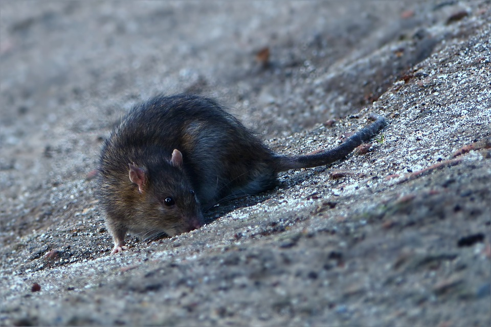 La Ciotat : Des rats s'invitent sur les plages